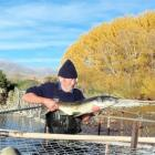 Volunteer Chris Poole holds a female salmon caught recently in the Hakataramea River trap...