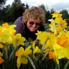 Volunteer Shirley Keen picks daffodils at Les Cleveland's property on Saddle Hill yesterday....