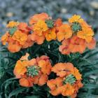 Wallflowers are excellent companions for daffodils.