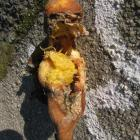 When squished, this rotting orange had the appearance of a doll. Photo by Anna Chinn.
