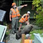 Would-be rescuers offer each other advice about how to best capture the seal. Photos Stephen...