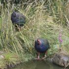 The takahe chick clambers through a tussock to feed on the seed-heads, following the example of...
