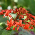 Clerodendrum speciosissimum. Photo: Gregor Richardson