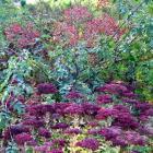 Rosa helenae and Sedum spectabile ''Herbstfreude'' (Autumn Joy) at Dunedin Botanic Garden. PHOTO:...
