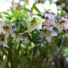 Helleborus orientalis. Photo by Gregor Richardson.