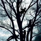 Students from the Otago Polytechnic arboriculture programmes spent yesterday hanging from the elm...