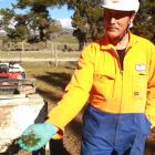 Regional council senior field adviser Peter Preston holds carrots laced with Pindone, which is...