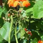 Runner beans are only half-hardy, so may need protection. Photo: Gillian Vine.