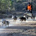 Siberian Huskies sprint down a track, hauling driver Stephen Potter through the Naseby Forest at...