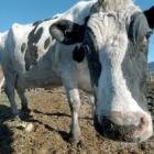 dairy_cow_closeup.jpg