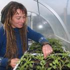 Waitaki Community Gardens volunteer co-ordinator Ra McRostie tends to her plants. Photo by...