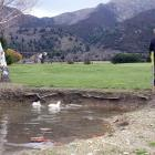 Lake Hawea Golf Course owner Richard Sullivan feeds his two remaining white ducks in a pond on...
