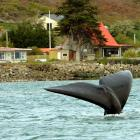 A Southern Right Whale off Te Rauone Beach last week, where residents have had to shore-up the...