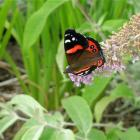 A red admiral butterfly on buddleia.