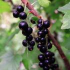 As blackcurrants are picked, the bushes can be pruned. Remove old branches that have borne fruit...