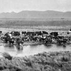 A scene on the Awarima Estate, Southland: a draft of cattle mustered for the inspection of buyers...