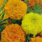 Marigolds sown under cover in August are now ready totransplant to the garden. Photo: supplied.