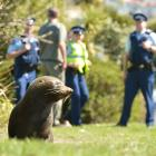 A fur seal basks in the sun at Portsmouth Dr, the latest of several seal sightings in the area....