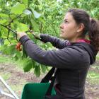 Cherry picker Jana Sikonova,  of the Czech Republic, searches for deep-red fruit at Jackson...