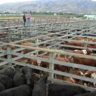 Haast farmers John and Kathy Nolan inspect cattle penned at the Cromwell Saleyards before selling...