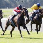 The Canterbury-trained La Diosa will start favourite in the New Zealand 1000 Guineas at Riccarton...