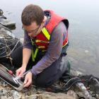 One of Ryder Consulting's freshwater scientists Ben Ludgate measuring a longfin eel from Lake Hawea