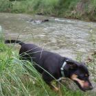 A dog runs by the Cardrona River next to the Upper Clutha River Track yesterday. The Otago...