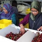 Izzati Jamil and Farhah Hamid, both of Malaysia, sort cherries at the Clutha Packing Centre, near...