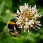 A bumblebee collects nectar from a clover flower in Dunedin yesterday. Photo: Gerard O'Brien