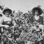 Wine-making at Herekino, North Auckland: picking the grapes. - Otago Witness, 27.12.1916.