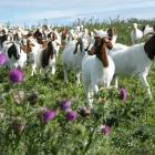 The Boer Goat Breeders Association is aiming to encourage more people to get involved with the...