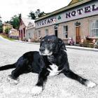 St Bathans' resident dog keeps watch outside his home last summer. PHOTO: GREGOR RICHARDSON.