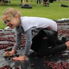 Eva Richards (10), of Roxburgh, crawls  through cherries to claim sweet treats. Photo: Jono Edwards.