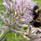 The rusty patched bumble bee which the US Fish and Wildlife Service proposed listing for federal...