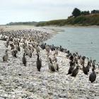 Juvenile shags flock to the Waitaki River mouth on Thursday.  Photo: Paul Pope.