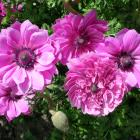 Anemones are hardy corms that grow well throughout Otago and Southland. Photo: Gillian Vine.