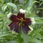 Lilium nepalense.