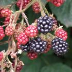 Blackberries need to be pruned after fruiting. Photo by Gillian Vine.