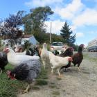 Police and the Waitaki District Council are looking into the antics of a domestic chicken flock...