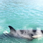 Two groups of Orca were spotted by a ferry. Photo: NZ Herald