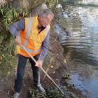 Asplundh contract manager Alan Marshall drags kina shells out of the Clutha River in Alexandra. The Ministry for Primary Industries is asking anyone with information about the dumping to contact them. Photo by Yvonne O'Hara.