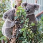 The RSPCA Koala joey thieves could be charged. Photo: Getty