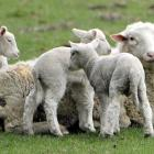 New Zealand has experienced its smallest lamb crop for more than 60 years. Photo by Stephen...