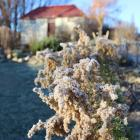 Frost lingers on plants outside Ophir's historic jailhouse yesterday morning. PHOTO: JONO EDWARDS
