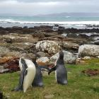 Yellow-eyed penguins after being returned to Long Point, in the Catlins, in March. Photo: Yellow...