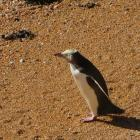 A yellow-eyed penguin on a beach. Photo: Shannon Gillies.