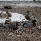 Ducks across the road. Photos: Jessica Wilson.