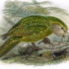 A kakapo from A History of the Birds of New Zealand.