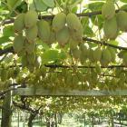 Kiwifruit_on_vine.JPG