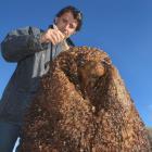 Wanaka sculptor and artist Minhal Al Halabi works on a sculpture of Shrek the Sheep in a sheep...